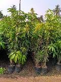 Mango malda plant