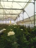 White Roose Plant