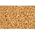Uttam Brand Lokman Wheat Seeds