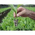 Hardened Banana Plant