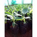 Javari Banana Plant