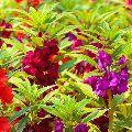 BALSAM ROSE MIXED FLOWER SEEDS