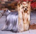 Yorki Pet Dogs