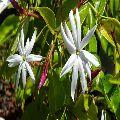 Angel wing jasmine
