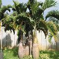 Champion Bottle Palm