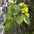 Ficus Re ligiosa/Peepal Tree