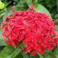 Ixora singapuri-hybrid-red