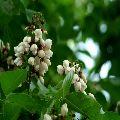 Pongamia/ Indian Beech Tree
