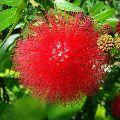 Powderpuff Hybrid Red