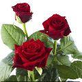 Fresh A Grade Dutch Rose Flower