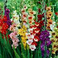Fresh Multicolor Gladiolus Flower