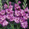 Fresh Purple Gladiolus Flower