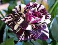 Black Dragon Rose Bush Flower Seeds