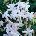 Chinese Jasmine Flower