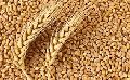 273 Wheat Seeds