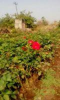 Divine Open Field Rose Plant
