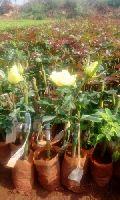 Gold Strike Dutch Rose Plant