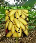 Nanjangudu rasabale tissue culture banana plant