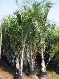 Triangular Palm