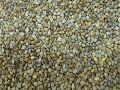 Grey Millet