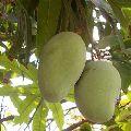 Dasheri Mangoes