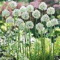 living flower bulbs