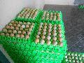 Broiler Hatching Egg