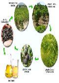 Jatropha Products, Jatropha Seed