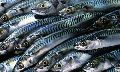 Mackerel Fishes