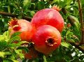 Ruby Pomegranate