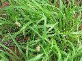 Blue Grass Seed