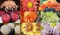 Chrysanthemum Flower Seed