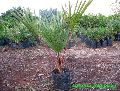 Red Palm plant