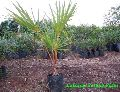 Latania Yellow Palm Plant