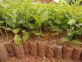 Mallai Rose Plant