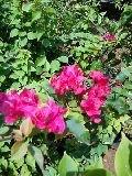 Scented Rose Plant