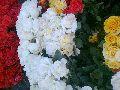 White Red Rose Plant